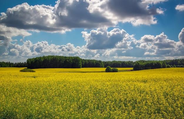 노란색 카놀라(브라시카 나푸스 l.)와 흐린 푸른 하늘이 있는 아름다운 풍경