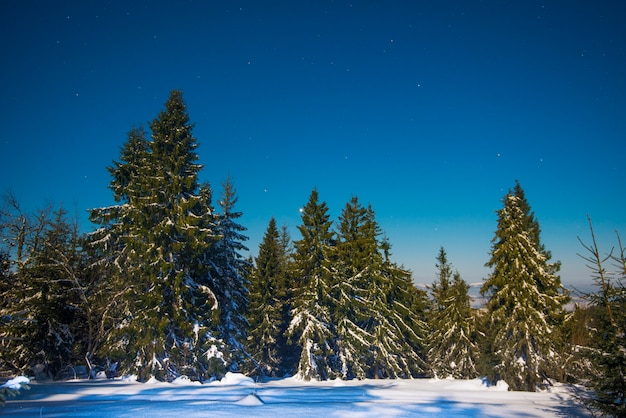 Beautiful landscape with majestic tall fir trees growing among white snowdrifts against the blue sky on a sunny frosty winter day