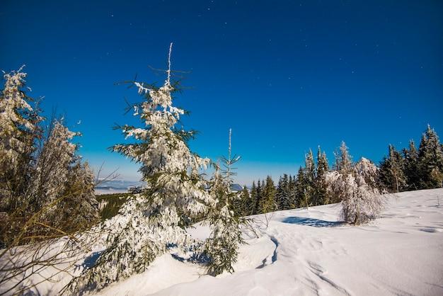 Красивый пейзаж с величественными высокими елями, растущими среди белых сугробов на фоне голубого неба.