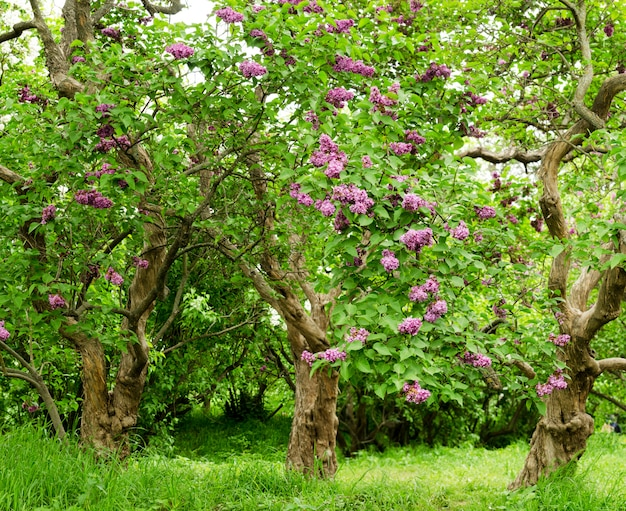 Beautiful landscape with old lilac tree blossoming in the garden.