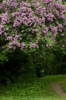 Красивый ландшафт при старое дерево сирени blossoming в саде.