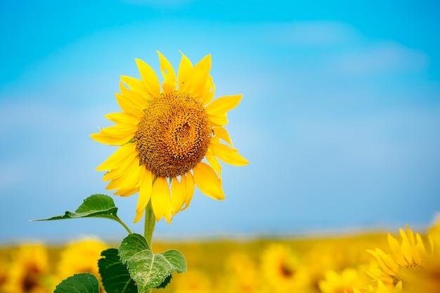曇りの青空と明るい太陽の光の上にひまわりのフィールドと美しい風景