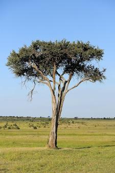 Красивый пейзаж с деревом в африке. национальный парк кении