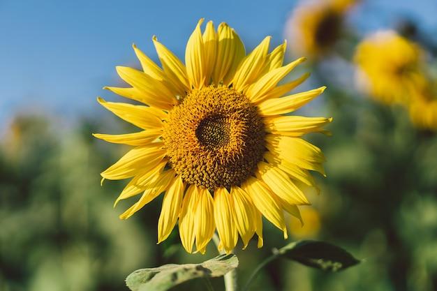 黄色いひまわりのある美しい風景。ひまわり畑、農業、収穫の概念。ヒマワリの種、植物油。