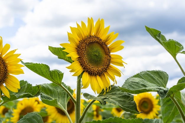 黄色いヒマワリと美しい風景。ひまわり畑、農業、収穫のコンセプトです。