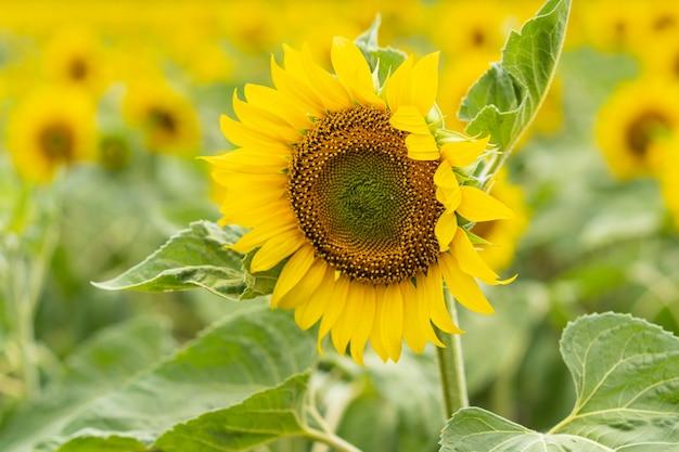 Красивый пейзаж с желтыми подсолнухами. поле подсолнечника, сельское хозяйство, концепция сбора урожая.