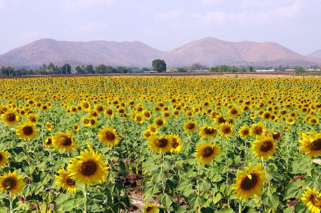 Beautiful landscape of yellow sun flower field with the background of mountain and beautiful sky