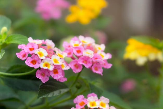 Красивые цветы лантаны камера в саду.