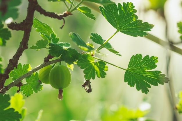 Красивые крупные ягоды крыжовника
