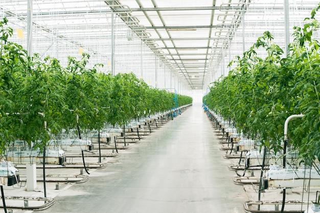 아름다운 큰 밝은 온실. 많은 토마토 모종. 지구의 날을 축하하십시오. 식물의 생태 관리. 그린 토마토 농장