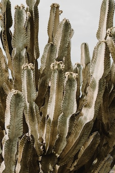 Beautiful large cacti tree with long spiky branches and blooming fruit on them