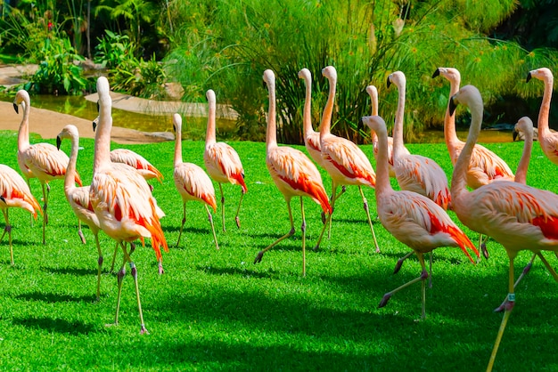 Beautiful large flamingo group walking on the grass in the park