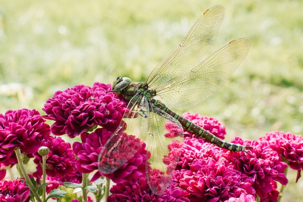 A beautiful large green dragonfly on bright purple chrysanthemum flowers on a blurred grass