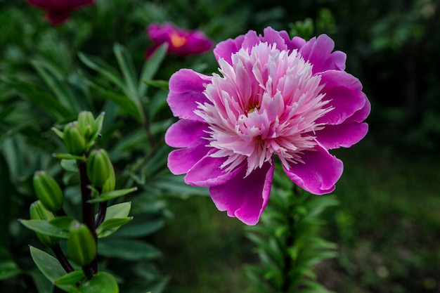 Beautiful large pink peony in the garden. close-up.