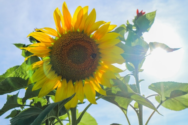 Beautiful large sunflower on a summer meadow in sunny weather, horizontal photo, no people