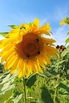 Beautiful large sunflower on a summer meadow in sunny weather, vertical photo, no people