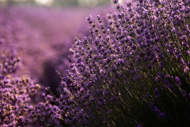 Красивое лавандовое поле на восходе солнца с фиолетовым цветочным фоном