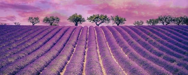 曇り空、フランス、ヨーロッパの美しいラベンダー畑