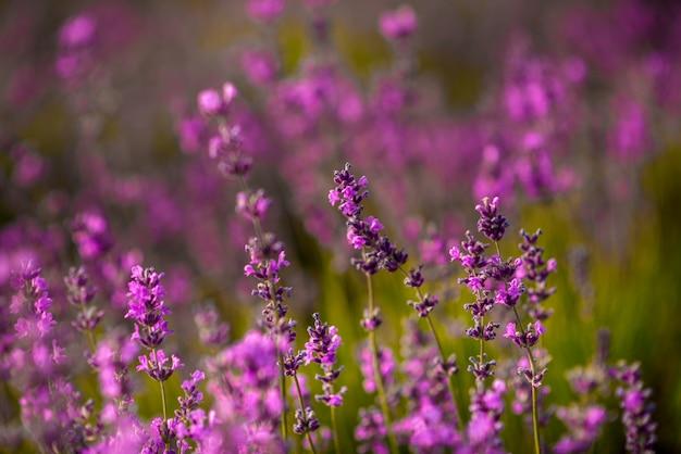 Красивые цветки лаванды закрывают вверх на поле во время захода солнца. природа