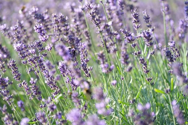 필드 근접 촬영 라벤더 필드와 여름 꽃에 아름 다운 라벤더 꽃