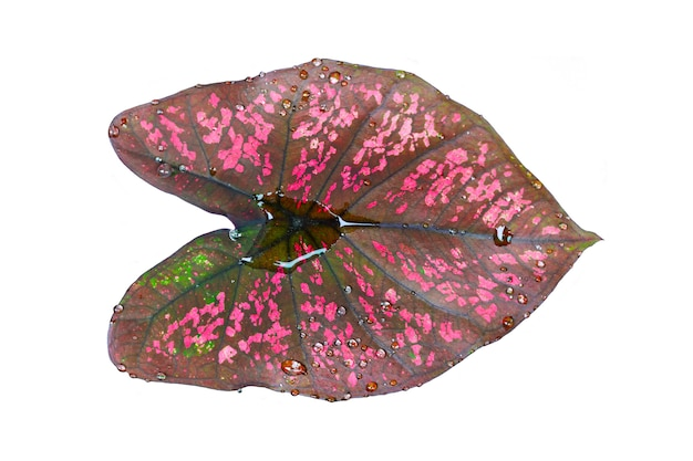 Beautiful leaf isolated on white background  fantasy variegated leaf in green and pink color