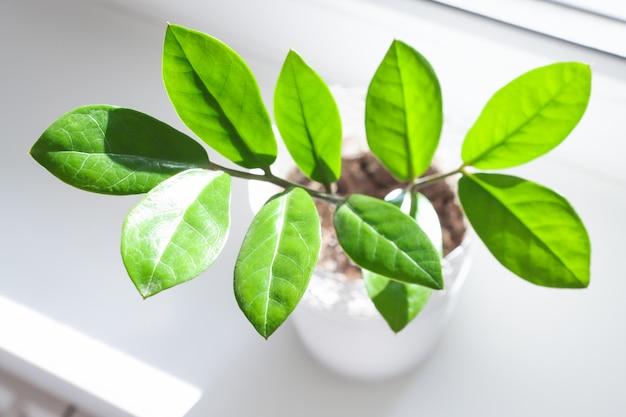 Красивые листья домашнего растения замиокулькас крупным планом, вид сверху