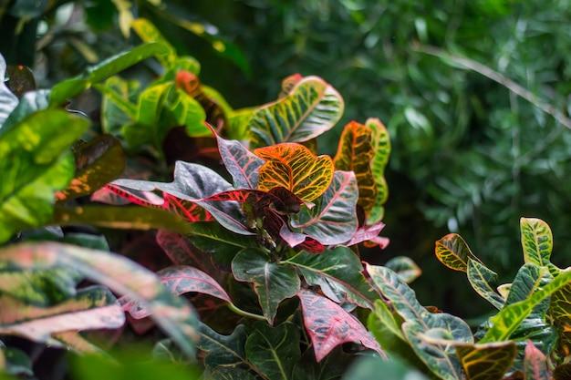 縞模様の葉を持つクロトンのホーム植物codiaeumvariegatum植物の美しい葉