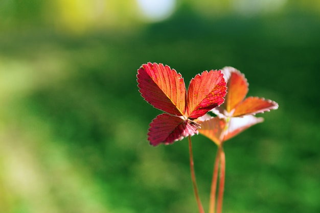 Beautiful leaves of wild strawberry