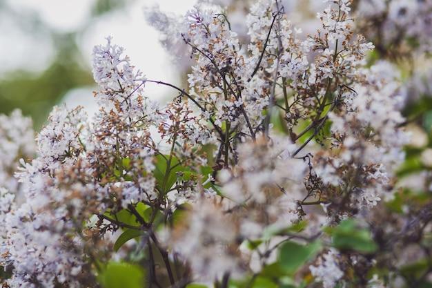 公園の美しいライラックの花。植物園に咲くライラックの木の花。