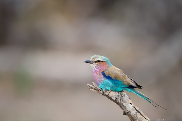 Beautiful lilac-breasted roller resting on the branch with a blurred background