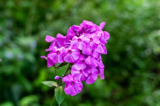 緑の背景に美しいライラックの花