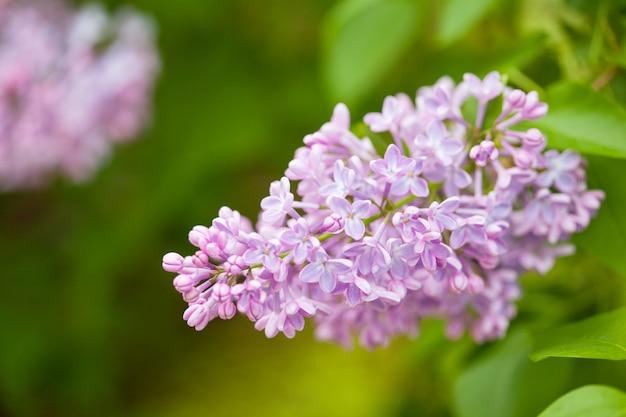 Красивые сиреневые цветы в саду