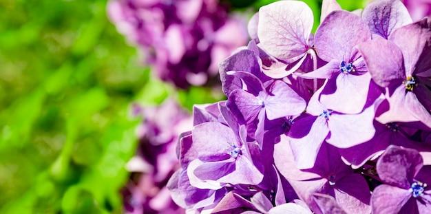 夏の庭の美しいライラックアジサイは花のウェブサイトのバナーをクローズアップ