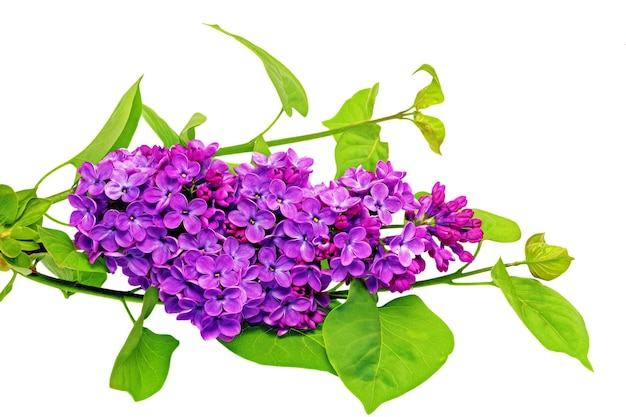 Beautiful   lilac on table. isolated over white .