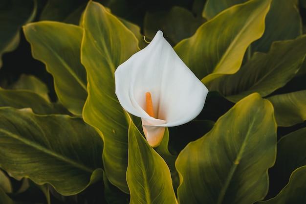 봄 시즌에 정원에서 아름다운 백합 칼라 꽃