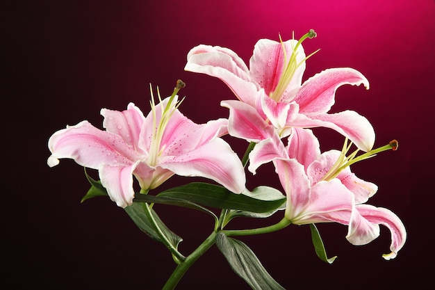 ピンクの美しいユリ