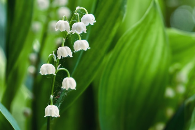 Beautiful lily of the valley flowers outdoors in spring