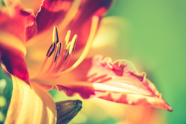 Beautiful lily, yellow and orange flower.
