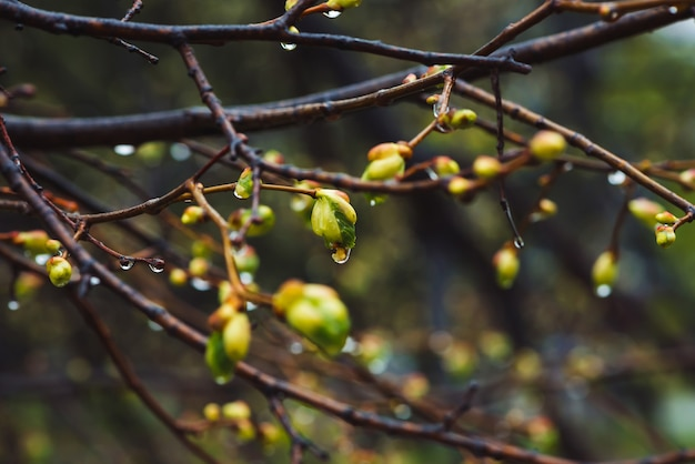 Beautiful linden branches with flowering buds close-up in rain spring time.