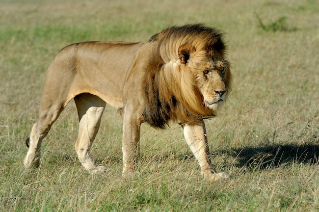 Красивый лев цезарь в траве масаи мара, кения