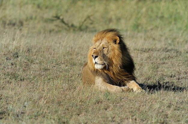 ケニアのマサイマラの草の中の美しいライオン シーザー