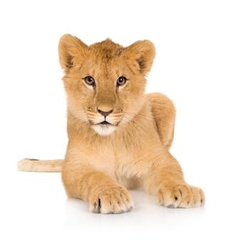 分離された美しいライオンの子の肖像