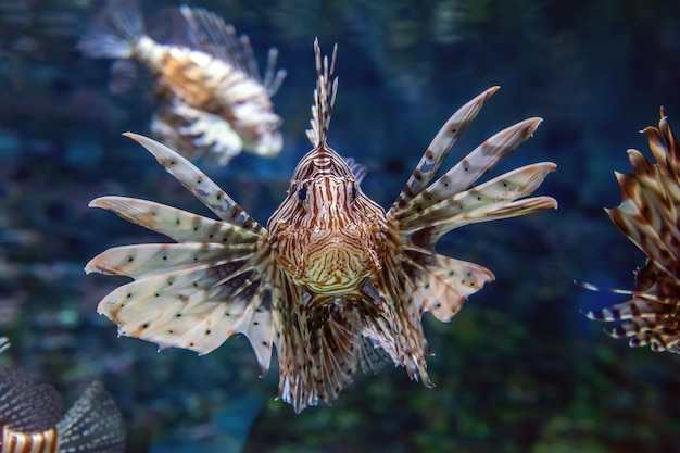 Beautiful lion fish hovering in mid water hunting for small prey in blue water