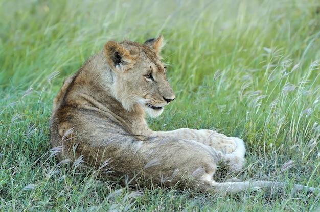 ケニアのマサイマラの草の中の美しいライオン