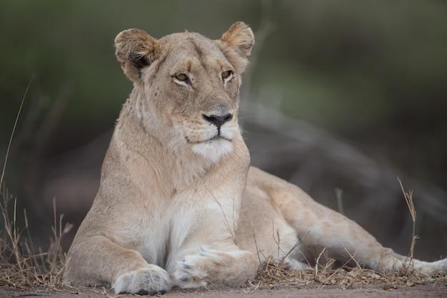 自然の中で美しい雌ライオン