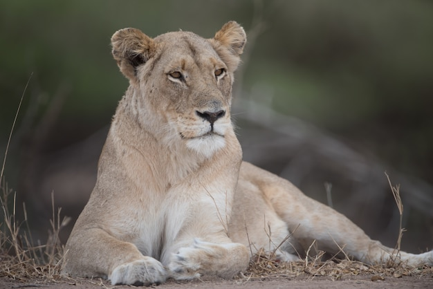 Beautiful lioness in the nature