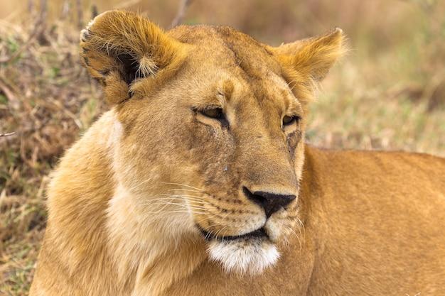 セレンゲティアフリカの美しい雌ライオンサバンナ