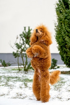A beautiful little apricot poodle stands on its hind legs outdoors in the snow.