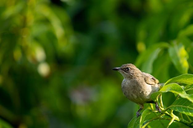 マンゴーの木に雨のしずくを楽しんでいる美しい小さなエーヤワディーブルブルをクローズアップ。