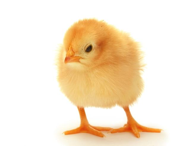 아름 다운 작은 닭은 흰색 절연